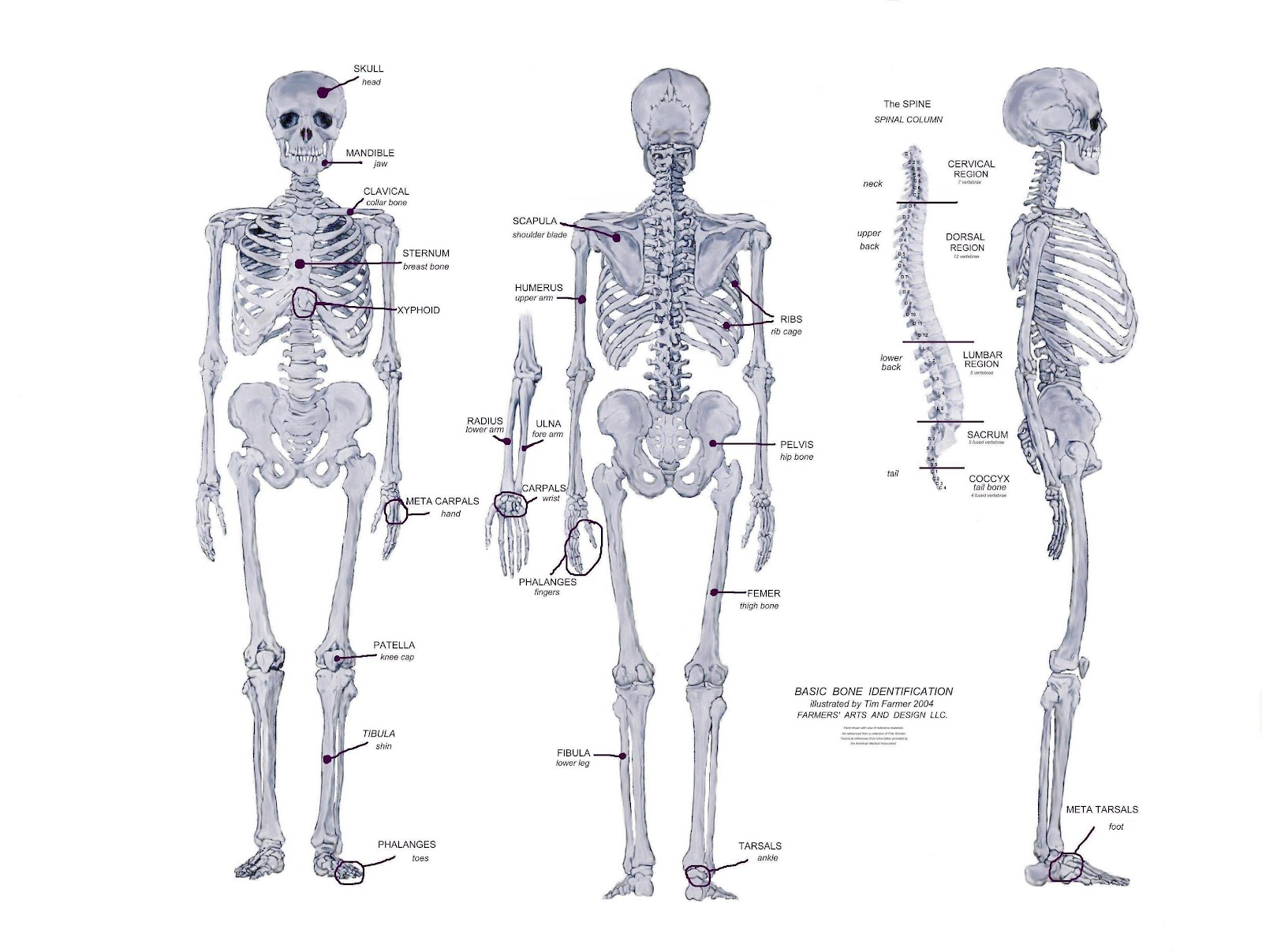 Anatomy bones human body