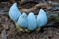 Weraroa virescens