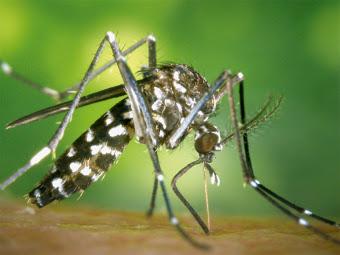 En esta imagen observamos el comunmente llamado mosquito tigre, con sus características rayas blancas y negras.