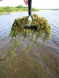racked up invasive aquatic weed hydrilla solitude lake management sepro corporation