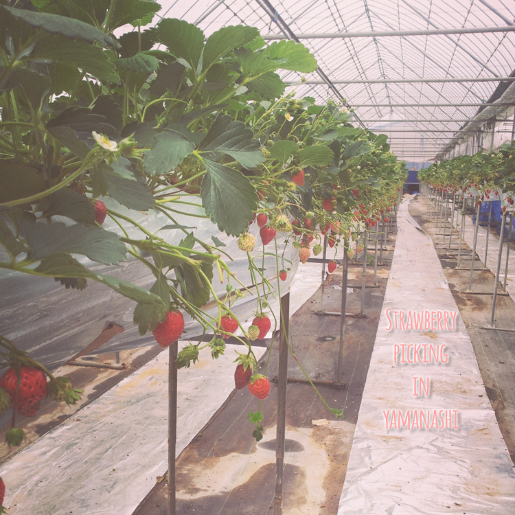 Strawberry picking in Yamanashi!