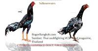 Gambar Ayam Bangkok Jenis Ayam Jago dan Betina