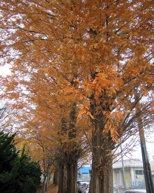 アケボノスギの黄葉