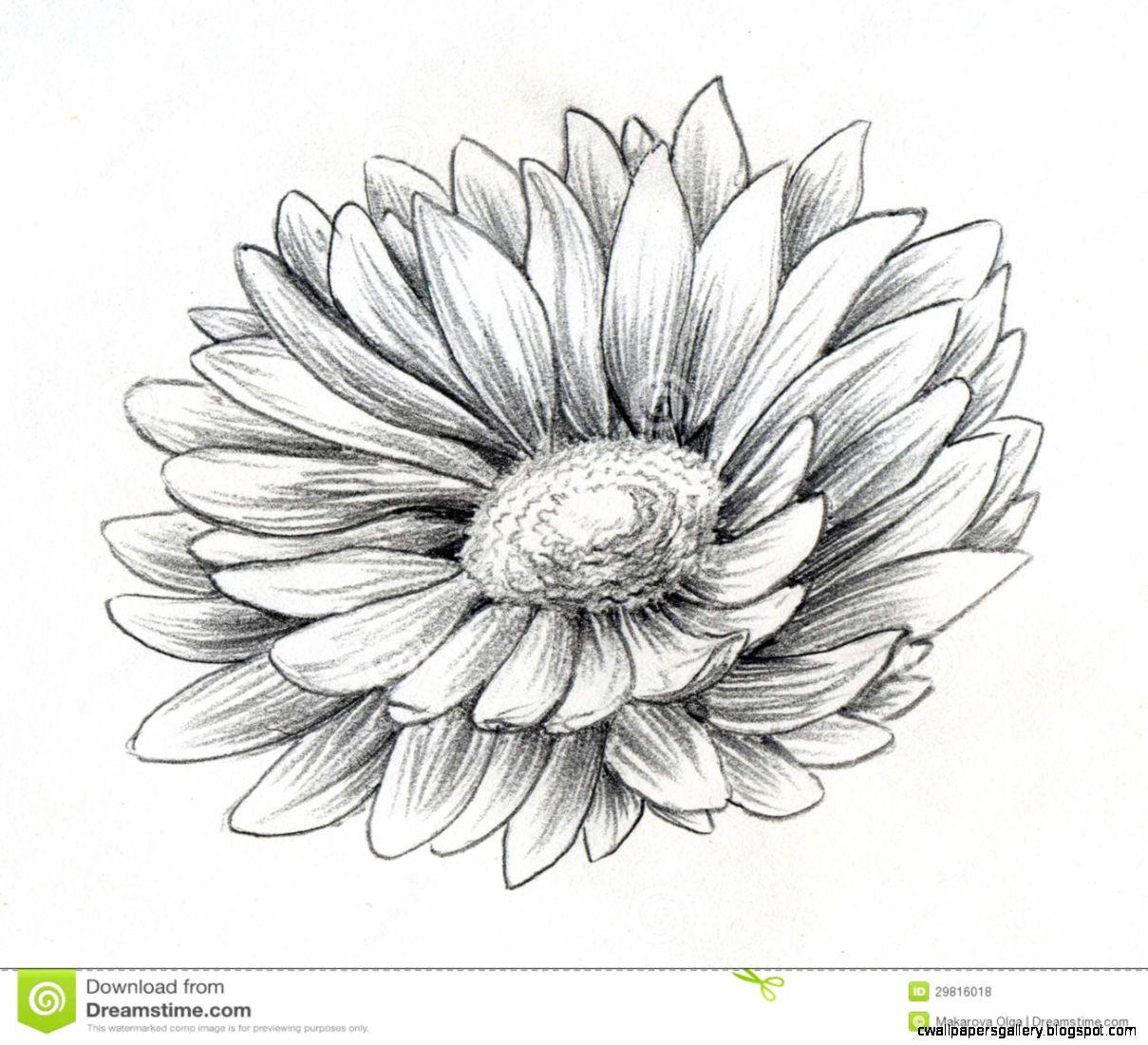 Daisy Flower Pencil Sketch Royalty Free Stock Photos   Image 29816018
