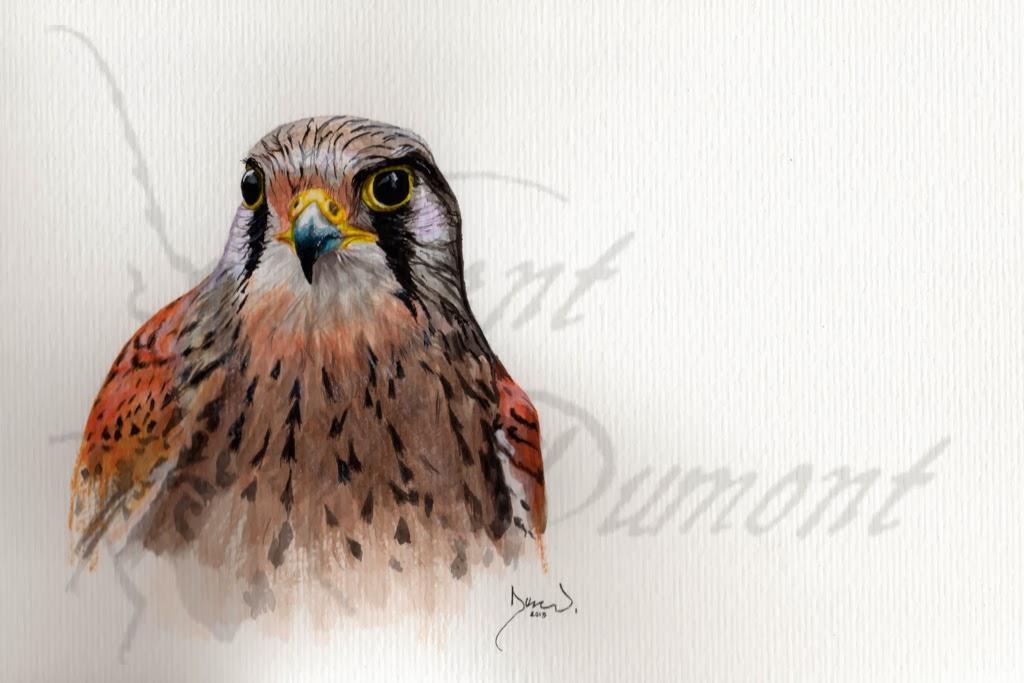 Dessins et photos naturalistes: Suite du faucon crécerelle