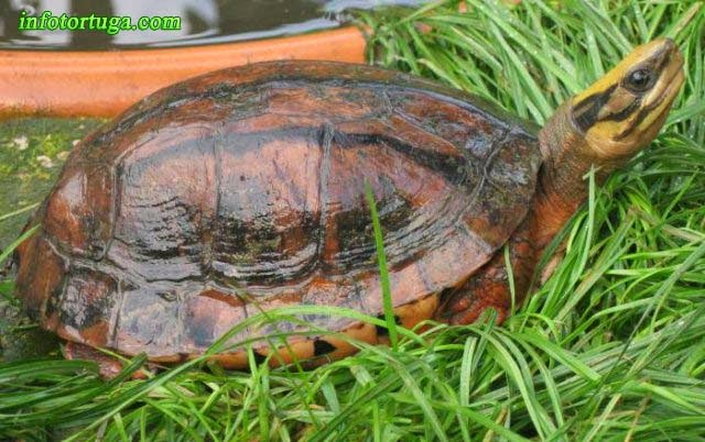 Cuora trifasciata, Three-striped box turtle