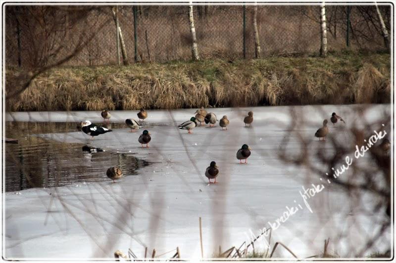 wiosna w polu i lesie, kaczka piżmowa, kaczka krzyżowka