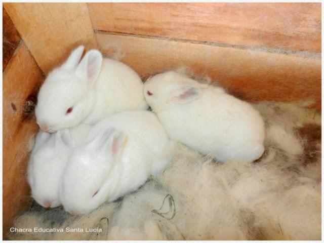Conejos a pocas semanas de nacidos - Chacra Educativa Santa Lucía