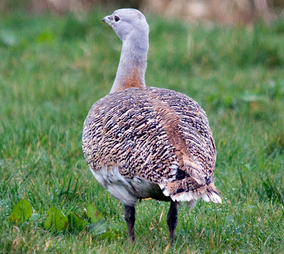 Female Bustard