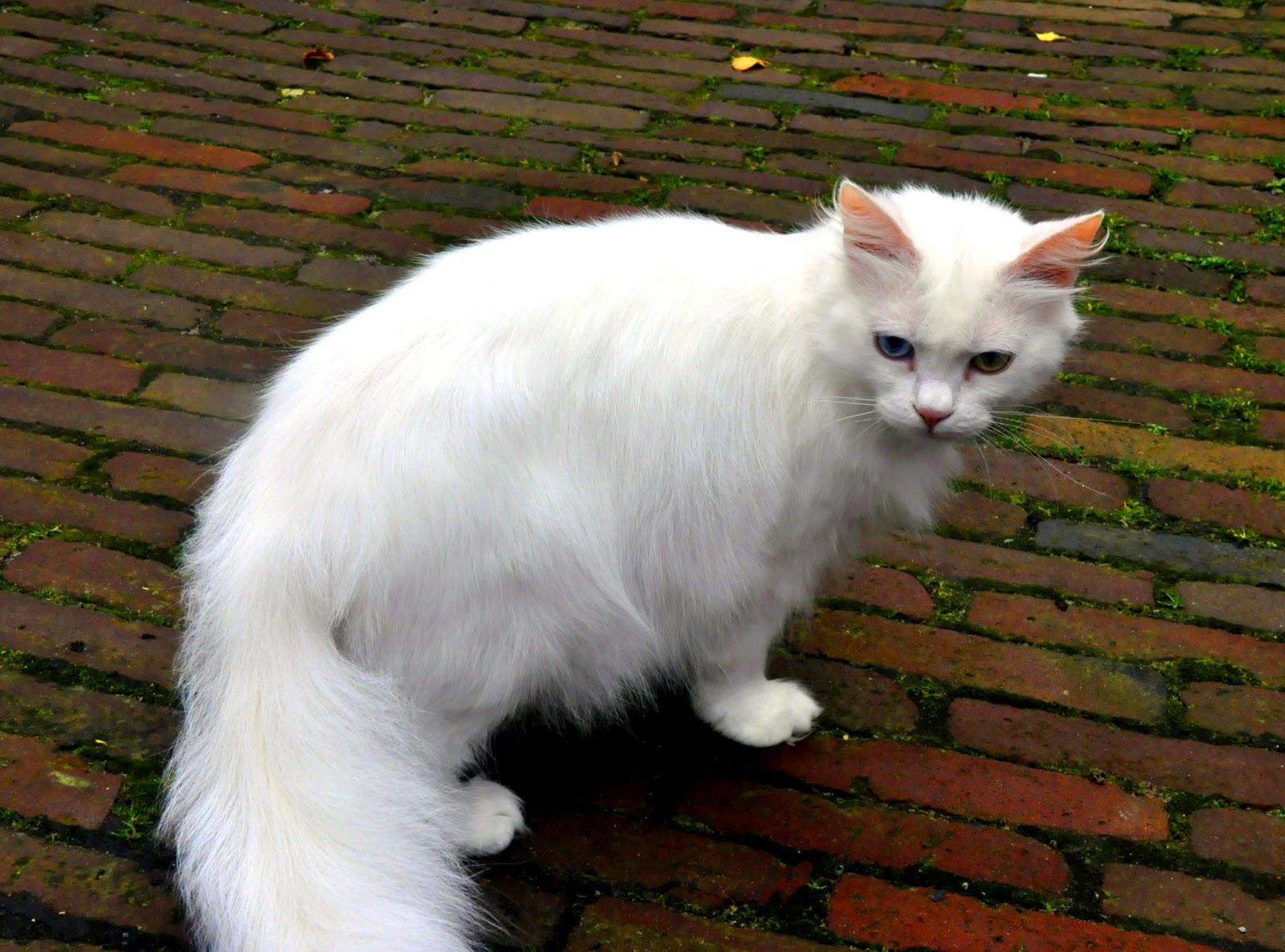 Kucing Domestik Kucing Jalanan Stray Cat Di Manca