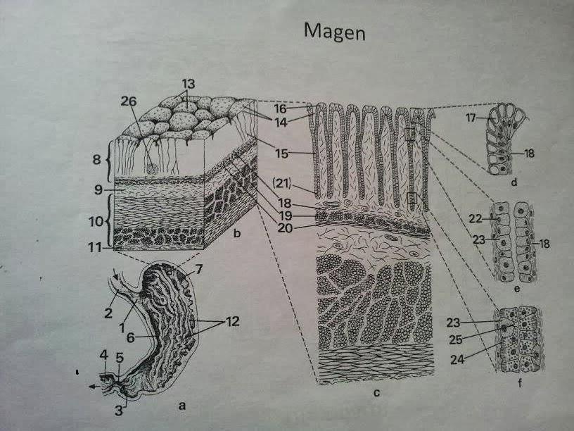 Mikroskopische darstellung und funktion des magens biologie an der ksr