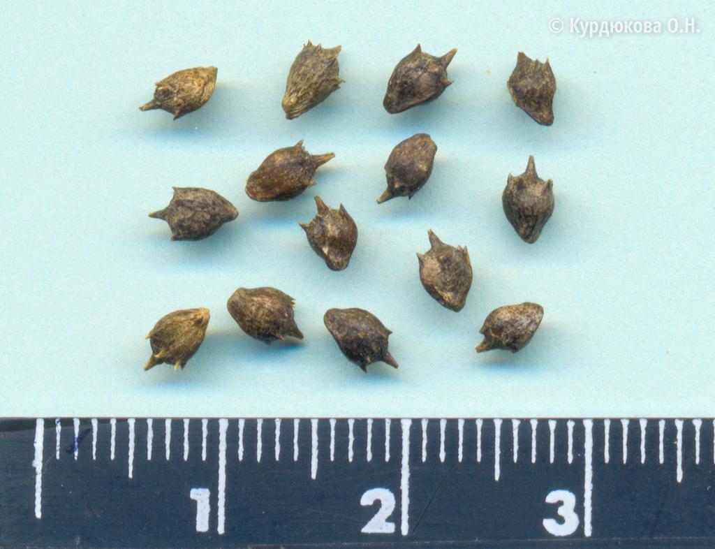 Семена и плоды: амброзия полынолистная - Ambrosia artemisiifolia L.. Список  сорных растений и семенная продуктивность, характеристика и название  сорняков