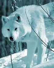 Bijeli vuk životinje download besplatne pozadine slike za mobitele