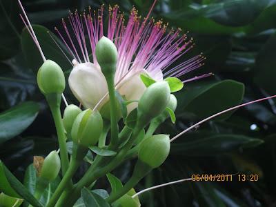 Bạn đã bao giờ thấy hoa bàng vuông?