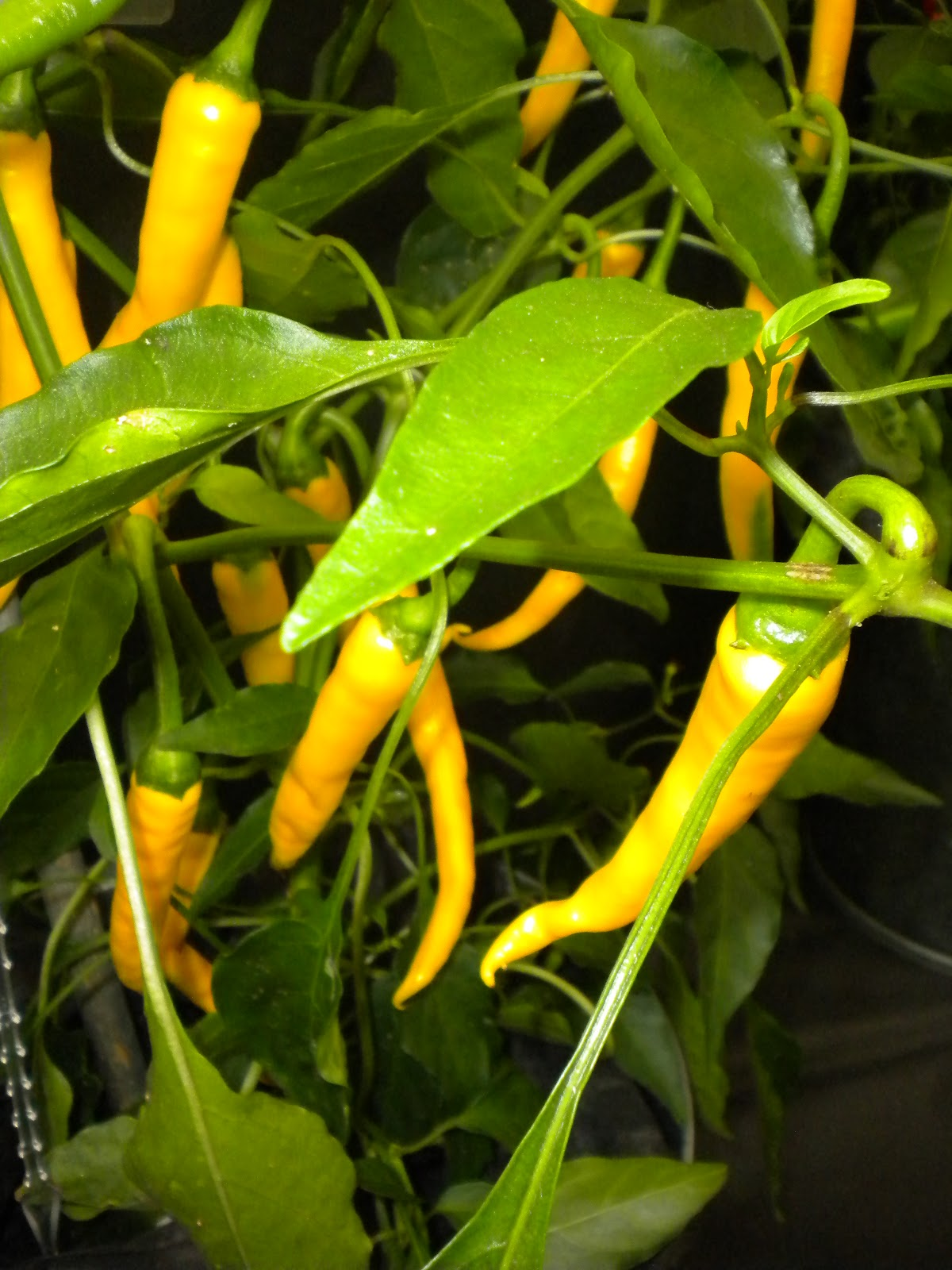 Chillies On Pinterest Chili Red Chilli And Chile 400 x 300
