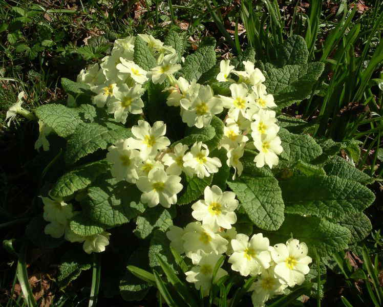 12 Months In View Flower Of The Month Primrose