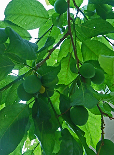 Large Green Apricots on Tree