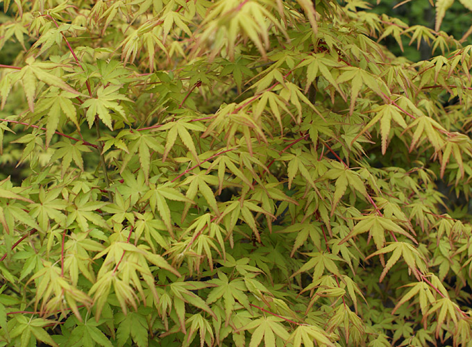 hortus italicus acer palmatum 39 katsura 39. Black Bedroom Furniture Sets. Home Design Ideas