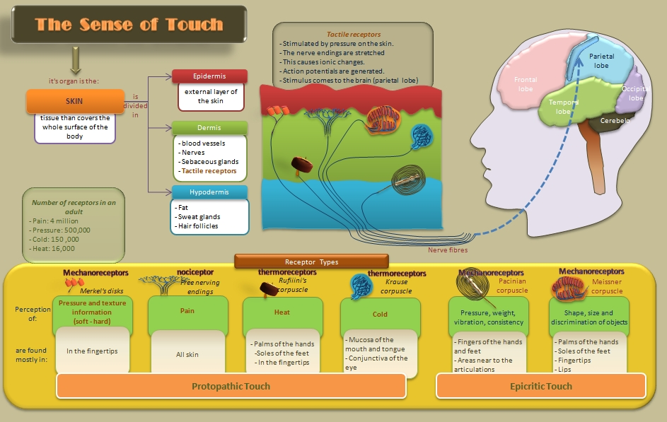 Educative diagrams: Diagram of The Sense of Touch