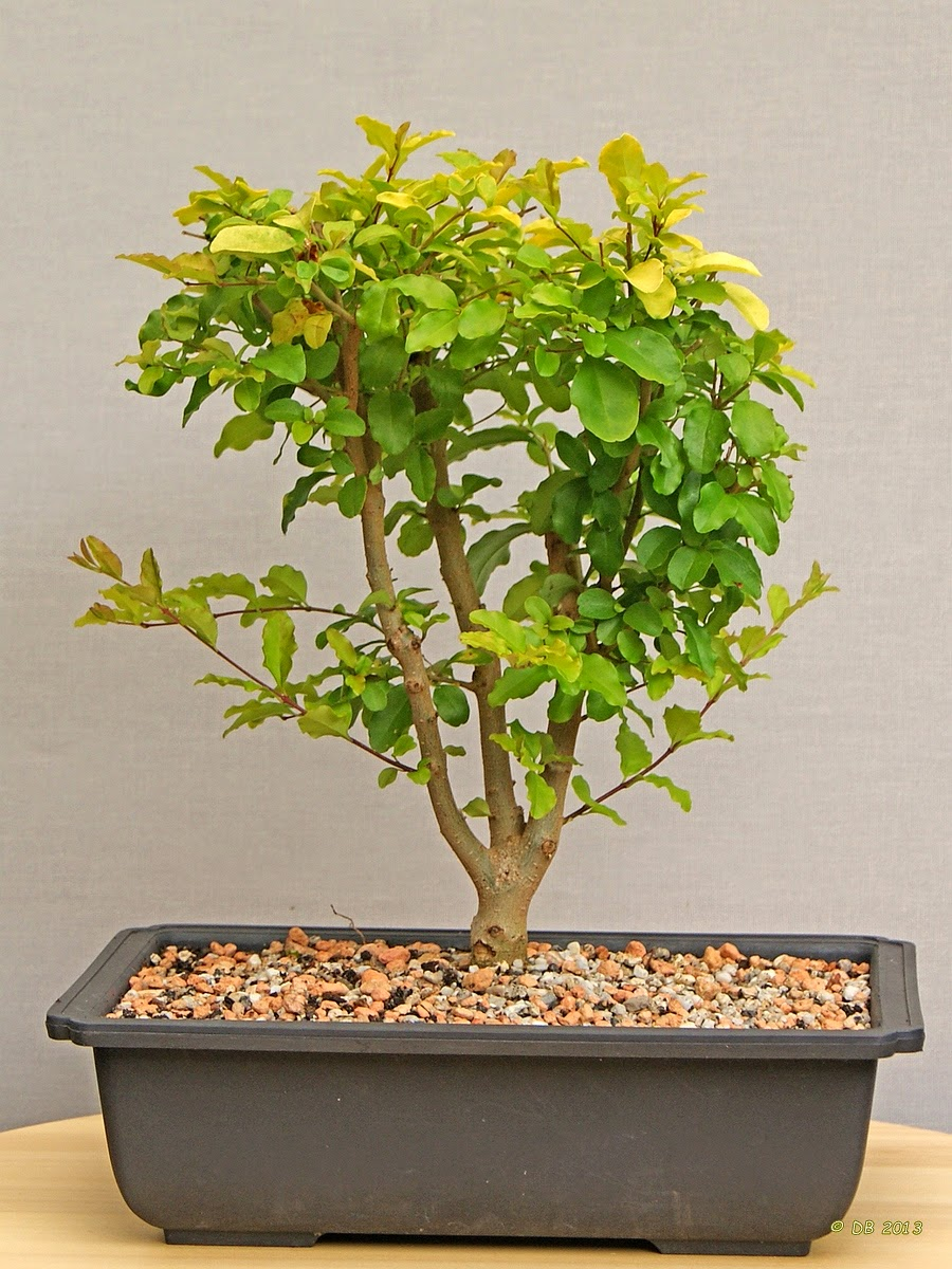 Dick Bonsai Lonicera Nitida 39Baggesen39s Gold39 Chinese