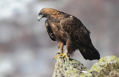 Gold eagle animal - photo#27