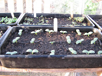 Cucumber seedlings planted 10 days ago.