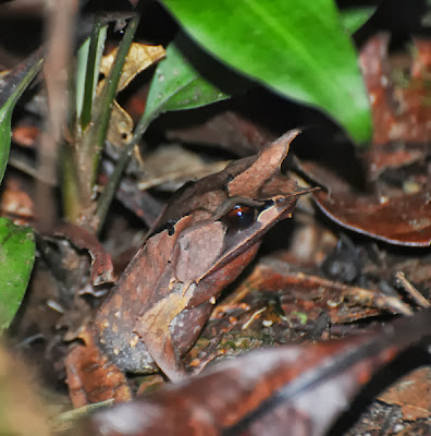 Borneo Horned Frog (Megophrys nasuta)
