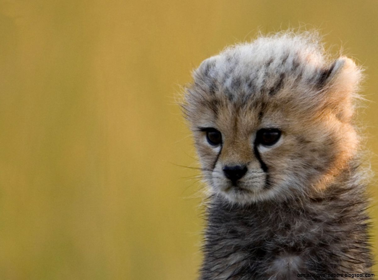 Baby Cheetah Background HD Wallpaper 12845