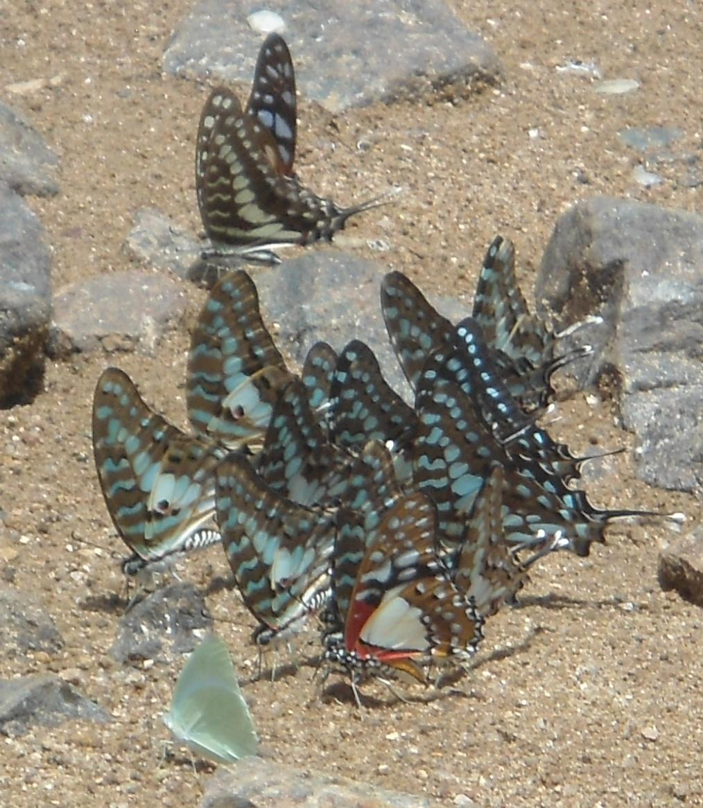 Como se chama um grupo de borboletas?