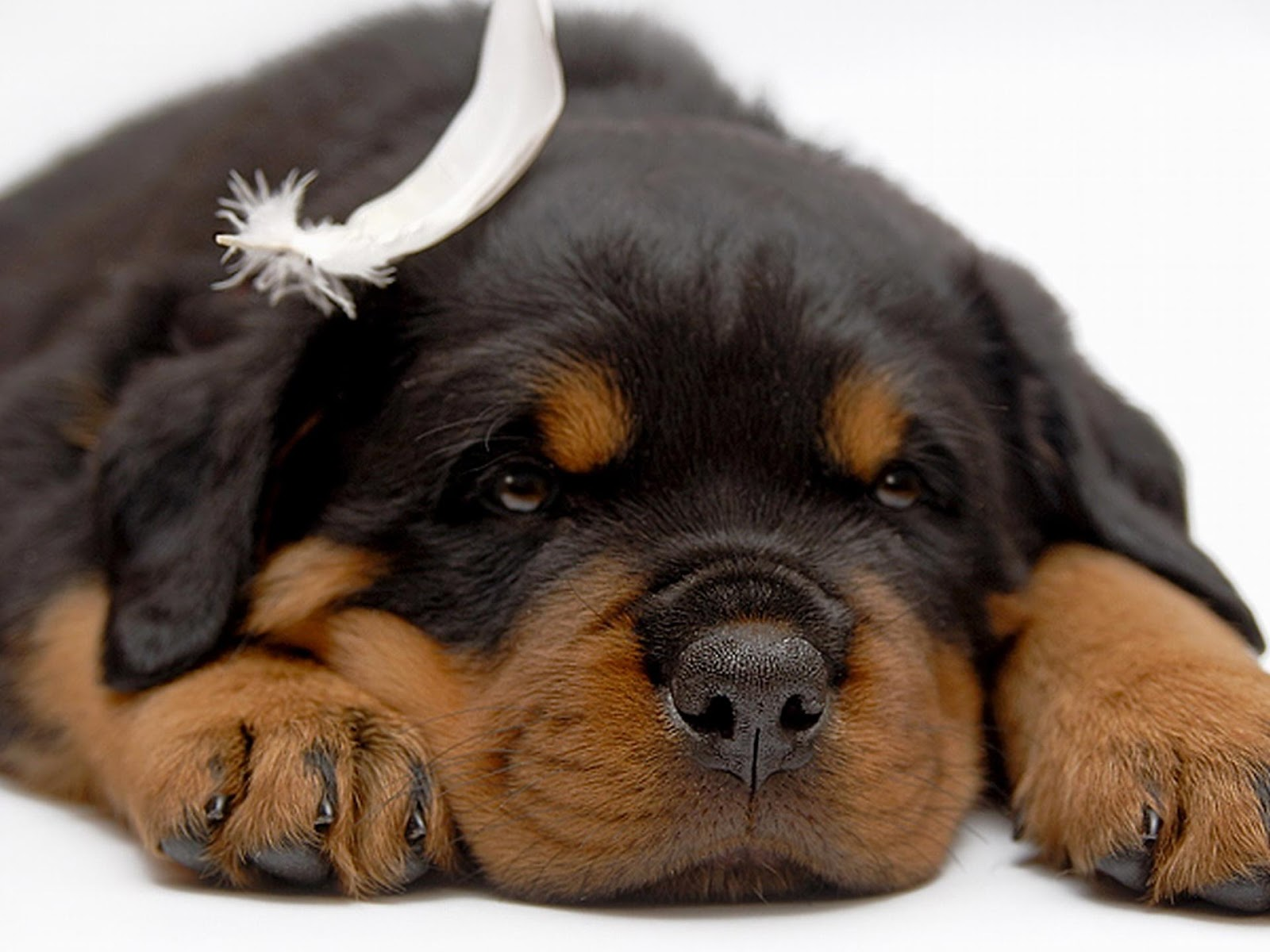 Cute Puppy Dogs: Rottweiler puppies Golden Retriever And Baby