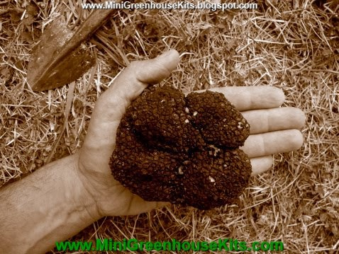 Close up Photograph of Large Summer Truffle Tuber Aestivum Duo Tone