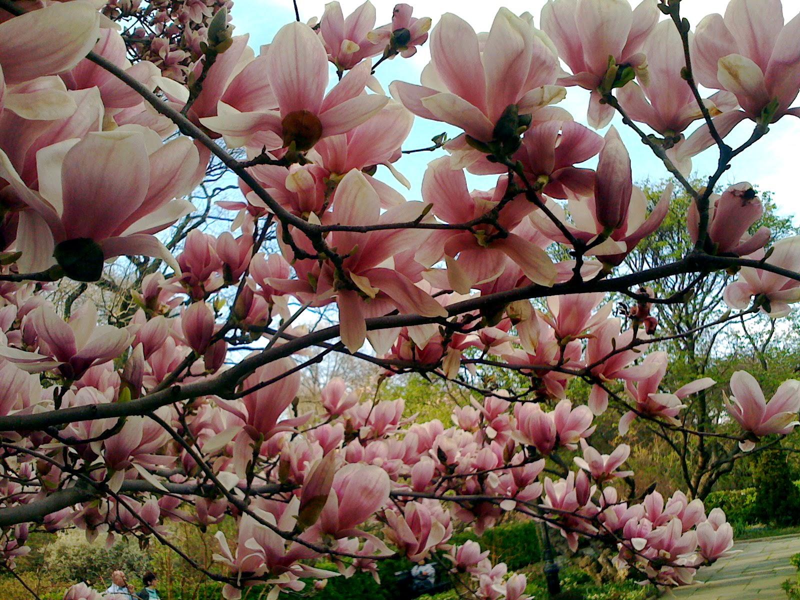 Flores y rboles magnolia for Arboles florales para jardin