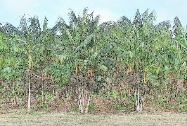 plantacion de açai