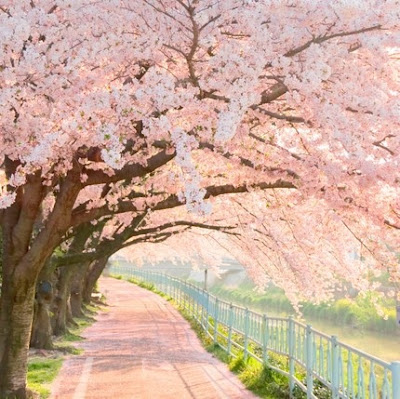 Japan Spring Pink Sakura Blossoms