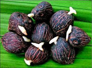 kecambah kelapa sawit