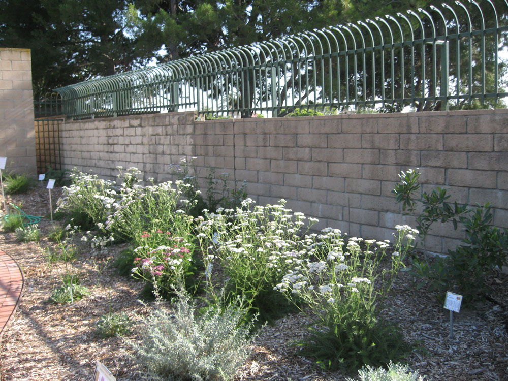 Awesome We Particularly Like Yarrow As A Filler Plant In Newly Planted Water Wise  Gardens. It Provides Needed Color While Trees And Large Shrubs Are Growing.