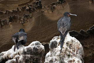 Flightless Cormorants at Albemarle, Isabela Island, Galapagos