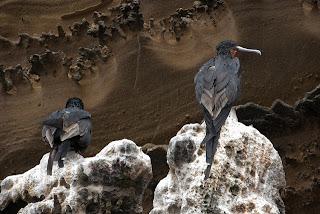 Flightless Cormorants at Albemarle, Isabela Island, Galapagos