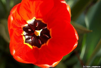 Lalea Tulpen Tulip Tulipe Tulipán Τουλίπα