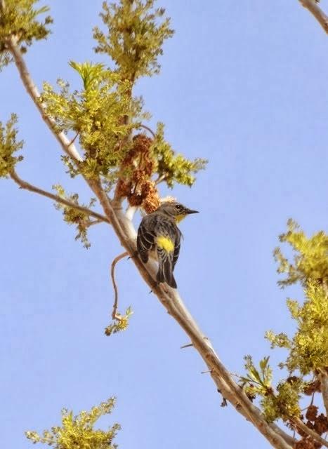 Yellow-rumped Warbler, Setophaga coronata 841
