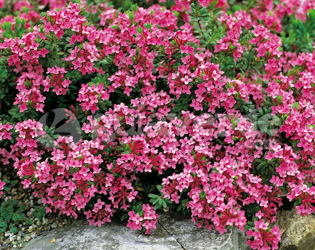 Arte y jardiner a plantas de rocalla diversas especies 9 for Jardineria y plantas