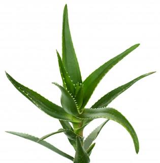 Aloe-Vera-for-Urticaria