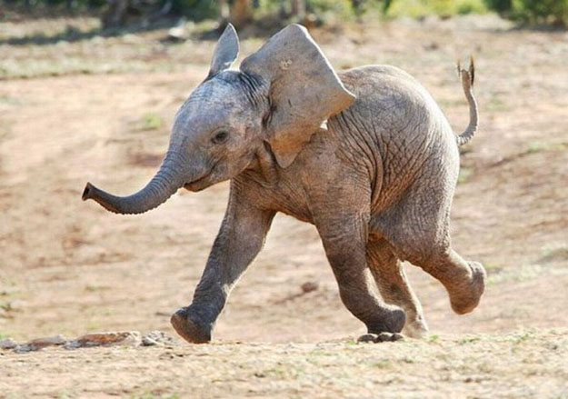 elephant is laughing