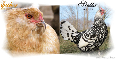 Esther had ovarian cancer, a very common condition in older laying hens, which required putting her down. Stella was also euthanized when it was discovered that she had a severe case of egg yolk peritonitis. Both conditions were confirmed by necropsies.