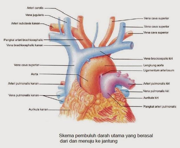 Proses Suplai Darah dari dan Menuju ke Jantung Manusia