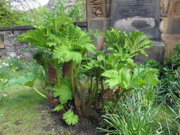 Planta gigante gunnera