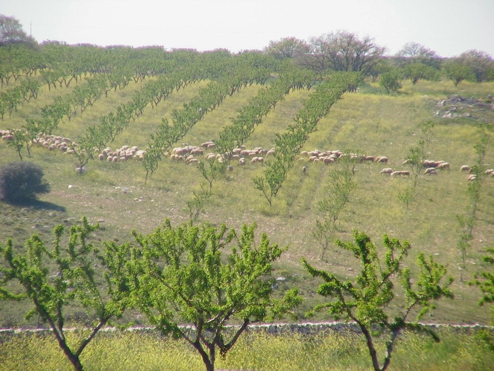 Dove le mandorle vengono coltivate