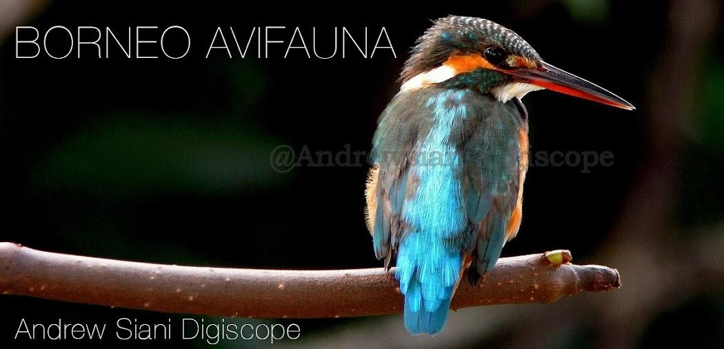 Borneo Avifauna