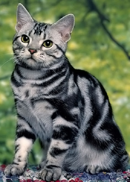 Tepmperament of American Shorthair