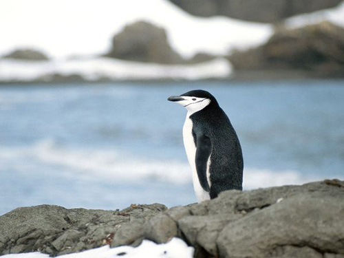 Foto Pinguin Bagus